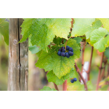 - Peel-n-Stick Poster of Pinot Noir Green Grapes Autumn Vine Leaves Wine Poster 24x16 Adhesive Sticker Poster Print