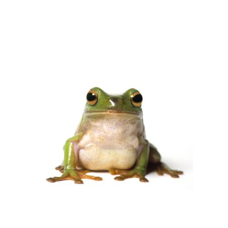 Fl6513 Natural Moments Photography Curious Green Frog Peering At Camera White Background Canvas Art - Darwin Wiggett  Design Pics (22 x