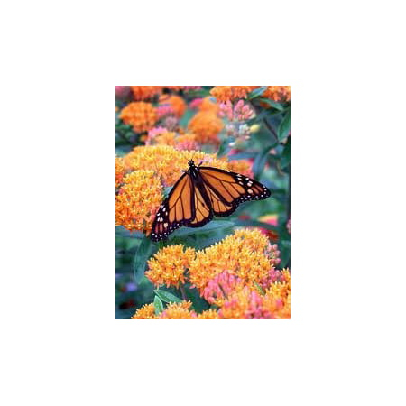 The Dirty Gardener Asclepias Bloodflower Butterfly Weed Flowers - 500 Seeds