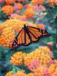 the dirty gardener asclepias bloodflower butterfly weed flowers 50 seeds