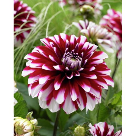 Dahlia Flower Bulbs (Karma Yin Yang Decorative  Dahlia - 1 Top Size Bulb)