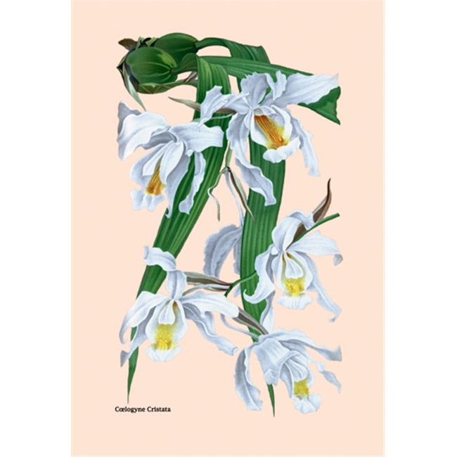 Buy Enlarge 0-587-07941-xP20x30 Orchid- Coelogyne Cristata- Paper Size P20x30