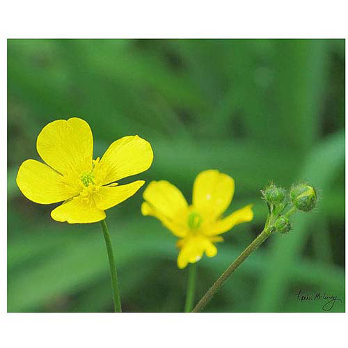 "Trademark Art ""Buttercup"" Canvas Art by Kathie McCurdy, 24x32"