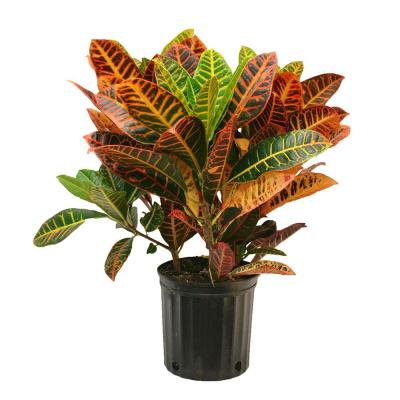 Image of Hawaii Live Plants 1pot Croton