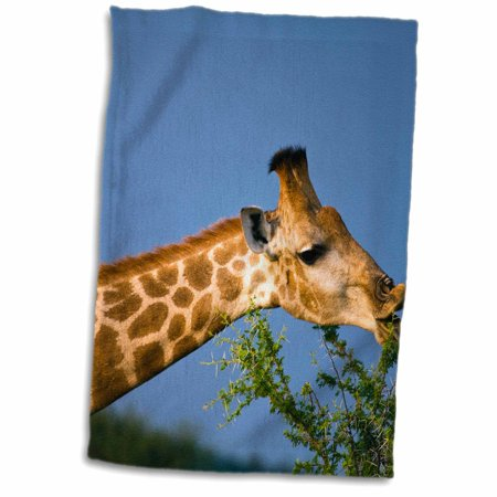 3dRose Giraffe feeding, Madikwe Game Reserve, North West, South Africa. - Towel, 15 by 22-inch thumbnail