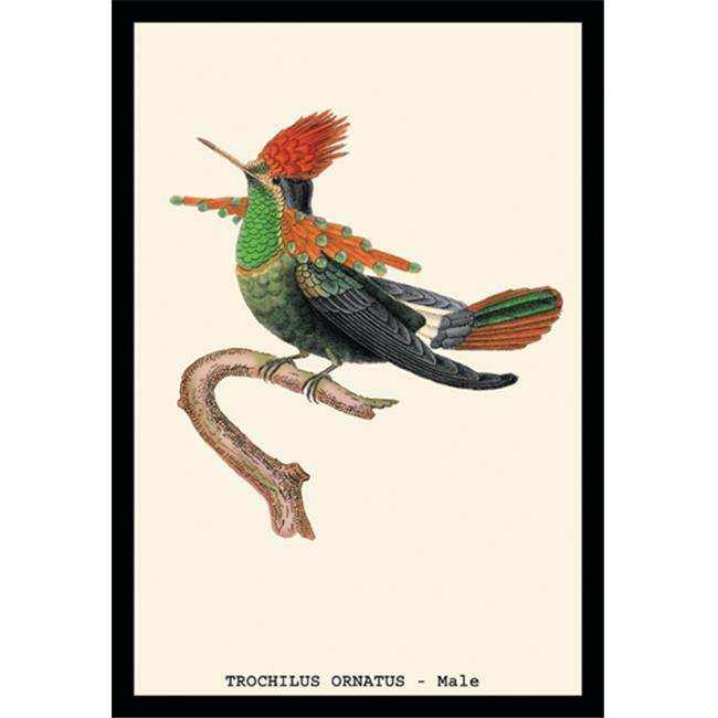 Buy Enlarge 0-587-15248-6P20x30 Hummingbird- Trochilus Ornatus - Male- Paper Size P20x30