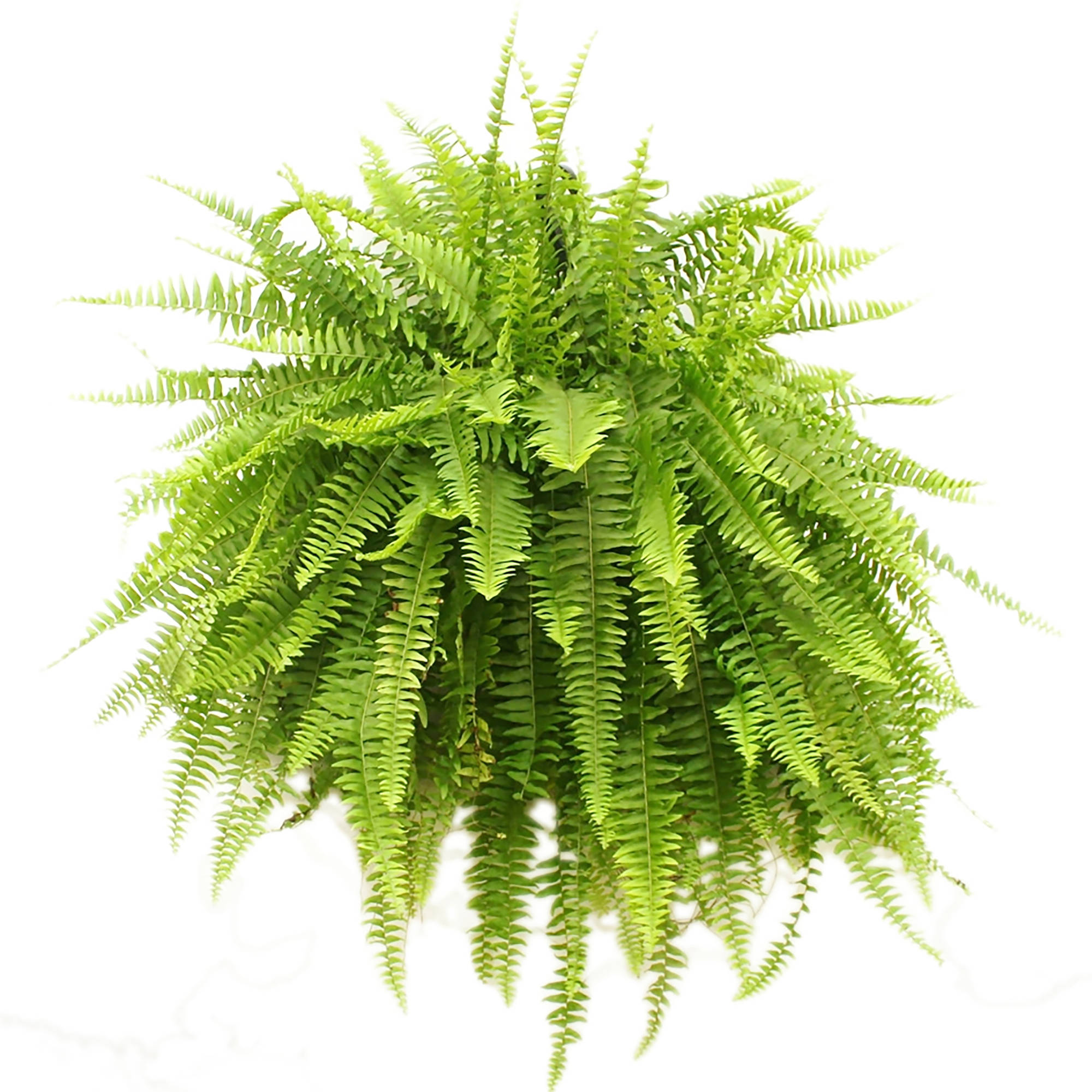 Delray Plants Live Boston Fern Plant in 10 inch Hanging Basket