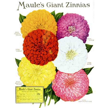 Flower Catalog - Historic Maules seed catalog with illustration of giant Zinnnias flower from 20th century PosterPrint