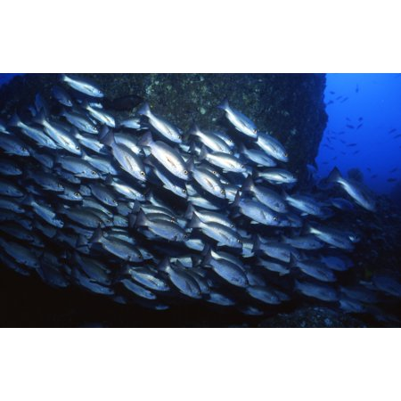School of Jacks in motion Cocos Island Costa Rica Canvas Art - Beverly FactorStocktrek Images (35 x 23)