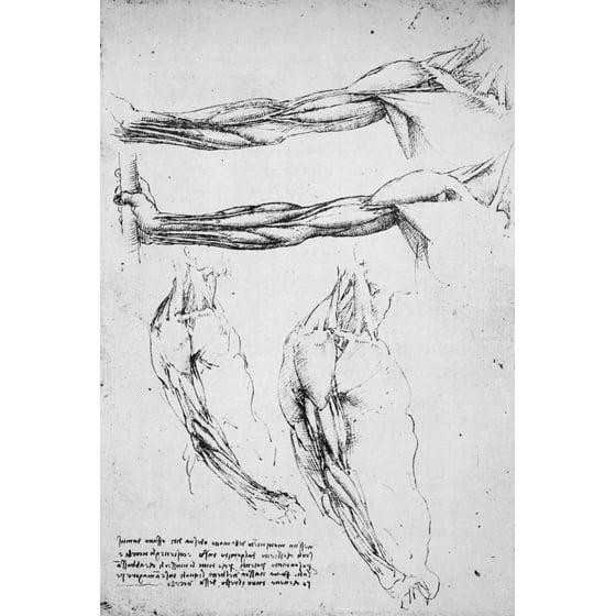 Stretched Canvas Art Leonardo Anatomy Nmusculature Of The Upper