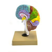 Eisco Labs Human Model of Functional Brain - 1/2 Size