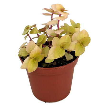 Copper Plant (Copper Jewel Vine - Turtle Vine - Inch Plant - Callisia - House Plant - 2.5