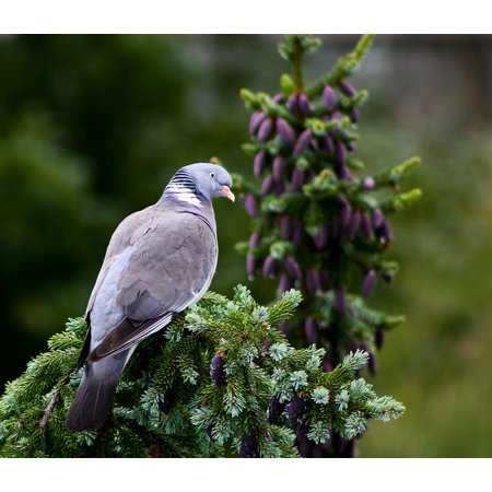 Canvas Print Dove Animal Nature Wildlife Photography Bird Stretched Canvas 10 x -