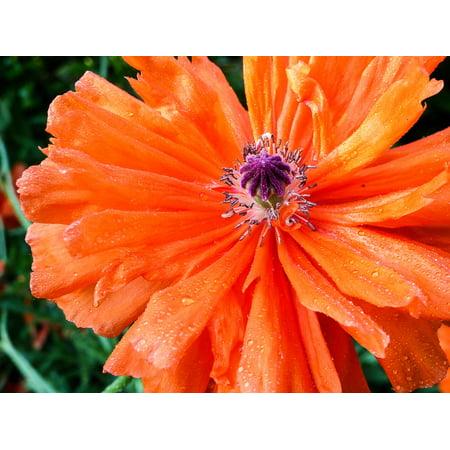 Canvas Print Spring Poppy Flower Spring Flower Red Orange Stretched Canvas 10 x 14