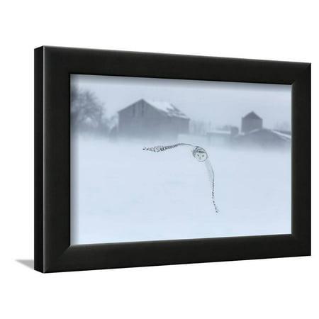 Canada, Ontario, Barrie. Snowy Owl in Flight Framed Print Wall Art By Jaynes - Ontario Canada Pc
