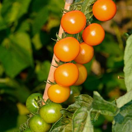 Tomato Garden Seeds - Sun Gold Hybrid - 100 Seeds - Non-GMO, Vegetable Gardening Seed - AAS Award Winner - Sungold ()