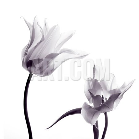 Two Transparent Tulips in Back Light on White Background Print Wall Art By Zaretska Olga (Halloween Clip Art Transparent Background)