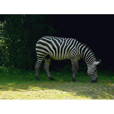 Stretch Zebra - canvas print wild safari zoo animal africa zebra stretched canvas 10 x 14
