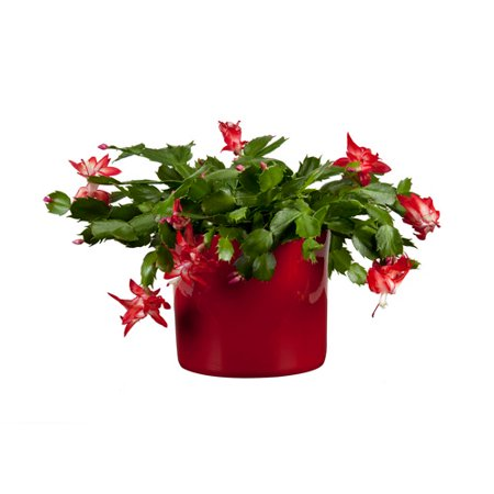 Exotic angel plants 6 christmas cactus for How to take care of exotic angel plants