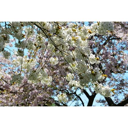 Laminated Poster White Sakura Anese Tree Cherry Pink Print 24 X 36