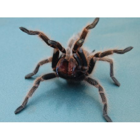 Canvas Print Tarantula Creepy Spider Fangs Arachnid Fuzzy Stretched Canvas 10 x 14 (Fuzzy Spiders)