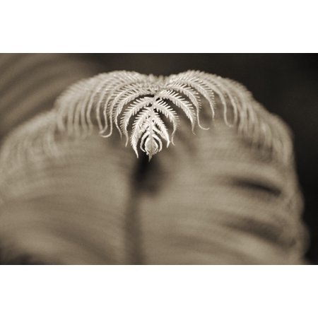 Hawaii Big Island Closeup of hapuu tree fern tip Selective focus (black and white photograph)