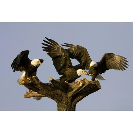 Alaska Eagle (Group Of Perched Bald Eagles Fighting Over FishNnear Homer Alaska Kenai Peninsula Winter Canvas Art - Doug Lindstrand  Design Pics (17 x 11) )