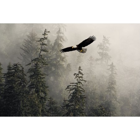 Bald Eagle Soaring In Flight Through Misty Tongass Nat Forest Se Alaska Summer Composite PosterPrint