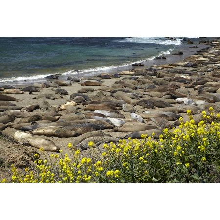 Northern Elephant Seals, Piedras Blancas Elephant Seal Rookery, Near San Simeon, California Print Wall Art By David Wall