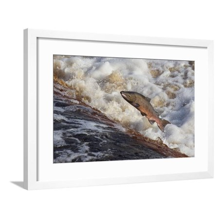 Upstream Framed - Atlantic Salmon (Salmo Salar) Leaping on Upstream Migration, England Framed Print Wall Art By Ann & Steve Toon