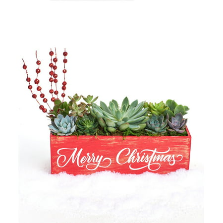 Christmas Succulent Planters.Merry Christmas Red Holiday Succulent Planter 12 Comes Planted By Shop Succulents