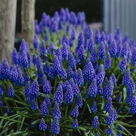 Van Zyverden Grape Hyacinths- Set of 50 Bulbs Grape Hyacinth Bulbs