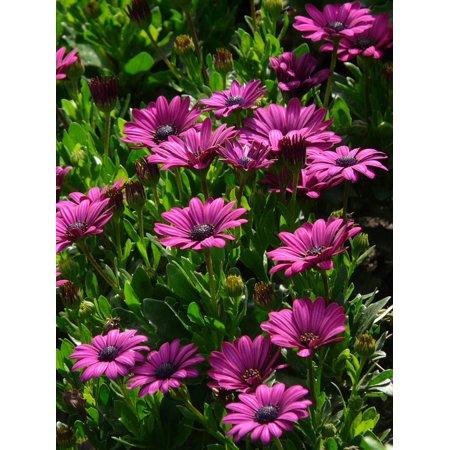 LAMINATED POSTER Plant Summer Purple Cut Flowers Flowers Gerbera Poster Print 24 x