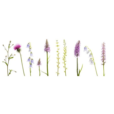 Meadow Flowers, Fleabane Thistle, Bearded Bellfower, Common Spotted Orchid, Twayblade, Austria Print Wall Art By Benvie Common Spotted Orchid