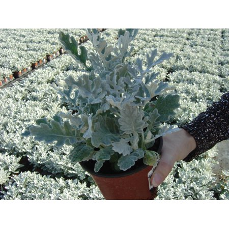 Image of Expert Gardener 306pk Dusty Miller