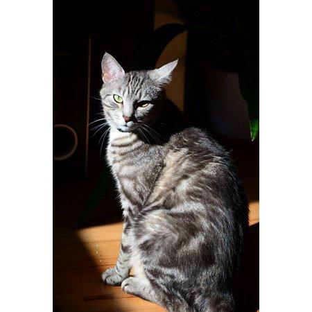 Canvas Print Tomcat Animal Kitten Cat Gray Cat Stretched Canvas 32 x (Beretta 3032 Tomcat 32 Acp For Sale)