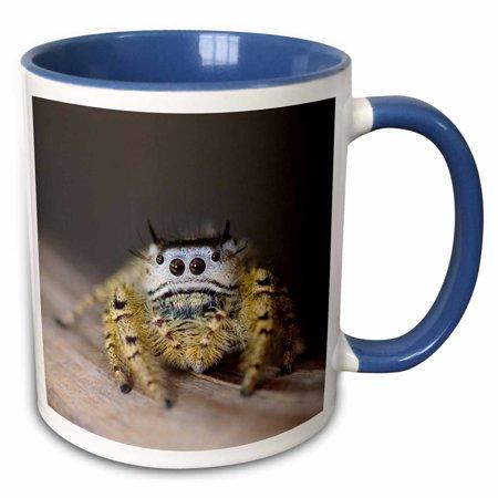 3dRose Jumping Spider, New Braunfels, Hill Country Texas - NA02 RNU0169 - Rolf Nussbaumer - Two Tone Blue Mug, 11-ounce