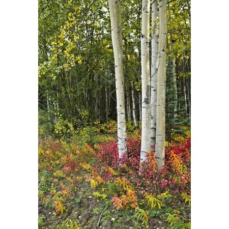 Colorful View Of Aspen Tree Trunks And Fall Foliage On The Kenai Pennensula In Southcentral Alaska