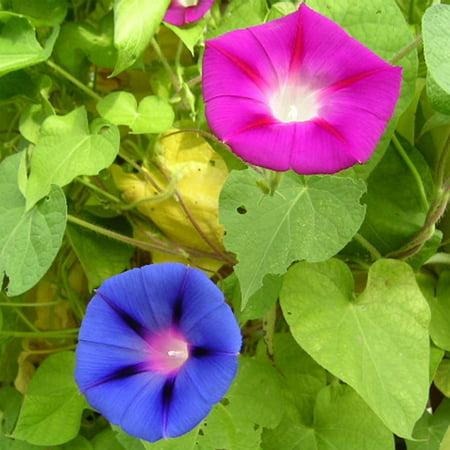 Morning Glory Flower Garden Seeds - Mixed Colors - 1 Oz - Annual Flower Gardening Seed - Ipomoea purpurea