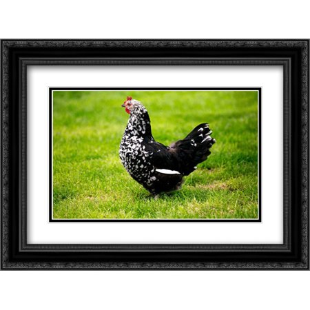 Domestic Chicken, Gournay hen, standing on grass, Normandy, France 2x Matted 24x18 Black Ornate Framed Art Print by Lacz,