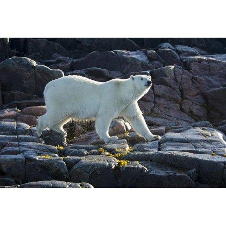 Canada, Nunavut, Repulse Bay, Polar Bears Walking Along Shore Print Wall Art By Paul Souders ()