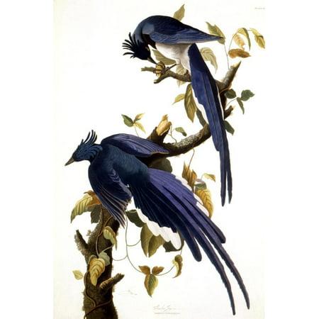 Kenneth Jay Lane Art (Columbia Jay, 1830, Traditional Bird Animal Art Print Wall Art By John James Audubon )