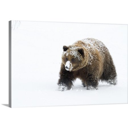 Great BIG Canvas Doug Lindstrand Premium Thick-Wrap Canvas entitled Small female grizzly,