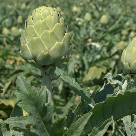 Imperial Star Artichoke Garden Seeds - 100 Seeds - Premium Non-GMO Vegetable Gardening