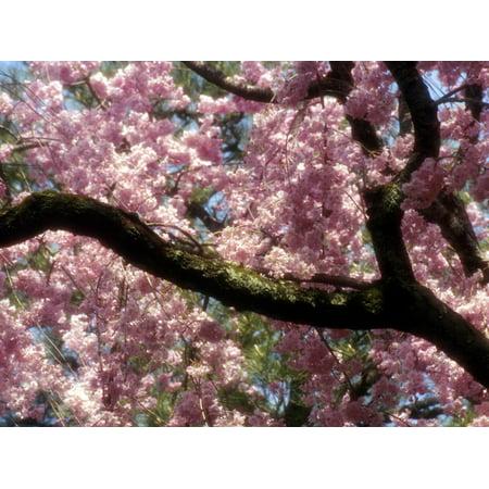 Cherry Blossom Tree in Bloom, Tokyo, Japan Print Wall Art By Nancy & Steve Ross