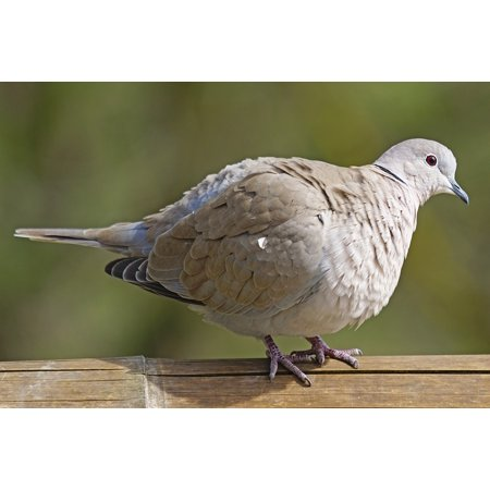 LAMINATED POSTER Dove Standing Turtle Dove Collared Bird Poster Print 24 x 36