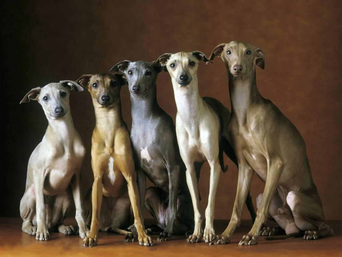 Small Italian Greyhounds Five Sitting Down Together Print ...