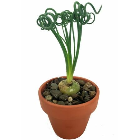 Rare Frizzle Sizzle Plant   Albuca   Strange   4  Clay Pot  Succulent House Plant