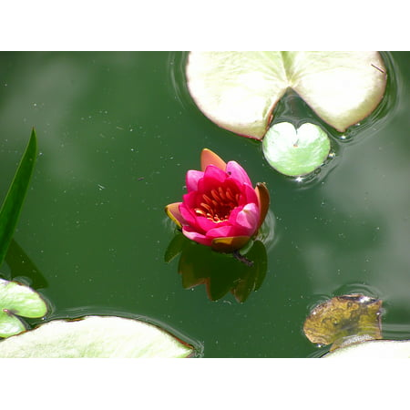LAMINATED POSTER Plant Lotus Lotos Blossom Water Lily Nature Pond Poster Print 24 x