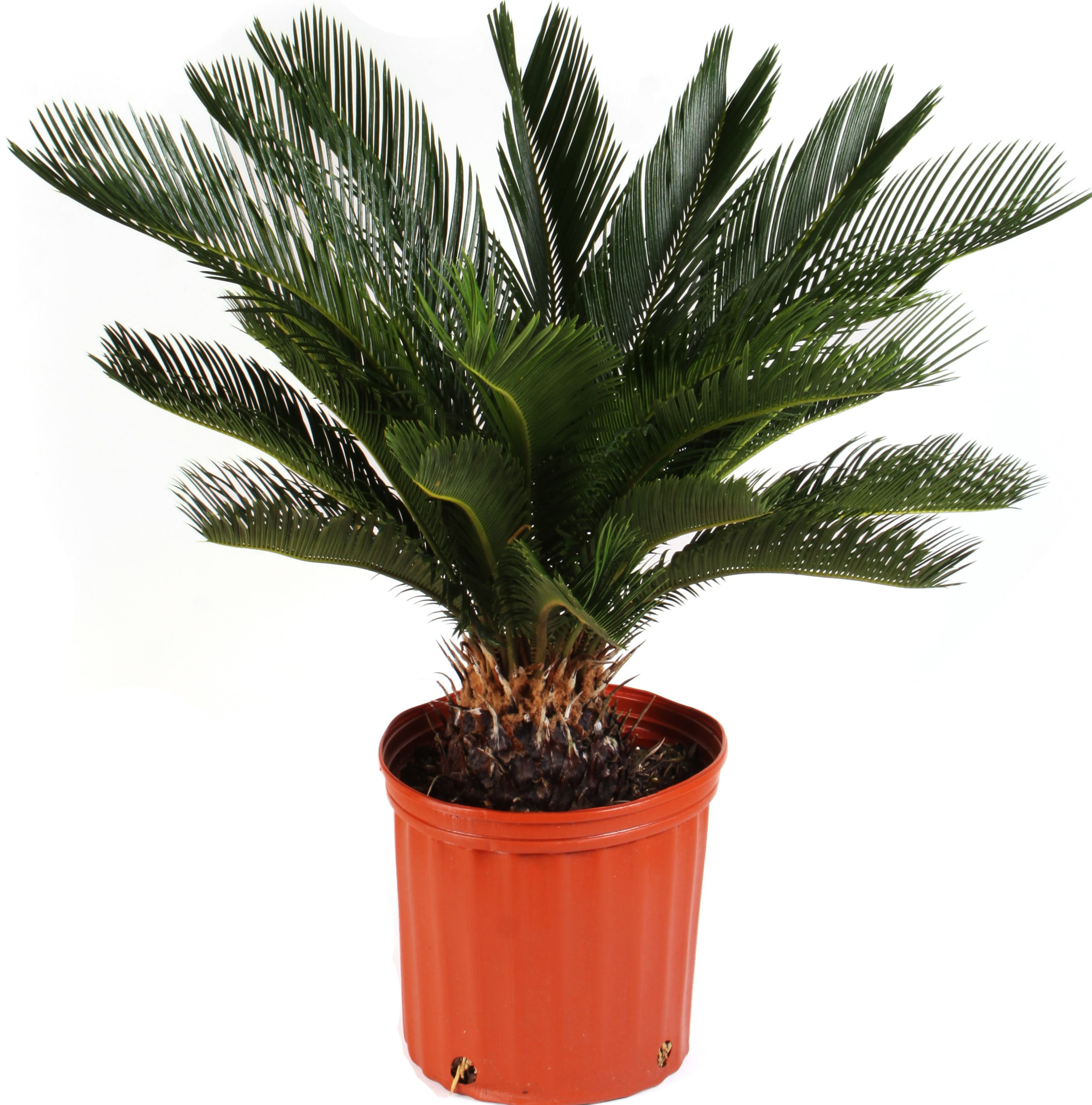 Delray Plants Sago Palm Cycas Revoluta Easy To Grow Live House Plant 10 Inch Grower Pot